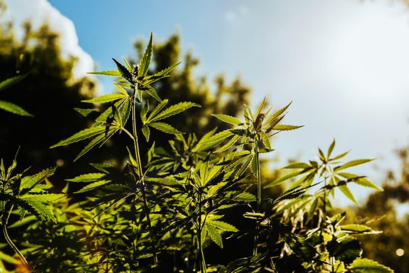 consume marijuana